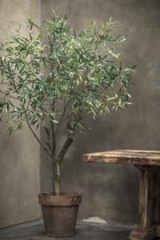 Olijfboom groen 1.98 cm