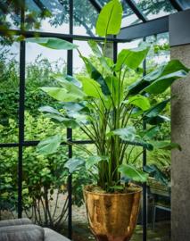 Strelitzia plant, zijden, in verschillende maten. 150cm, 183cm en 243cm