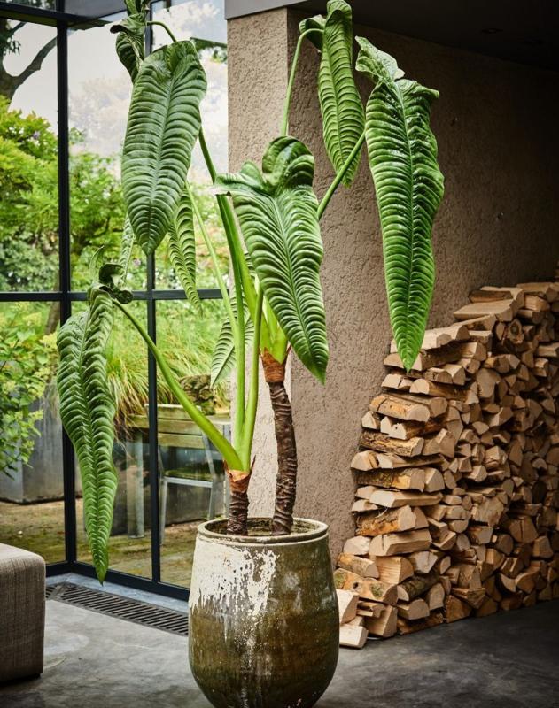 Alocasia groen 220 cm
