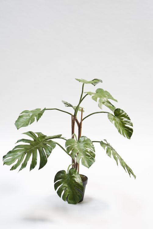 Monstera Green in verschillende maten