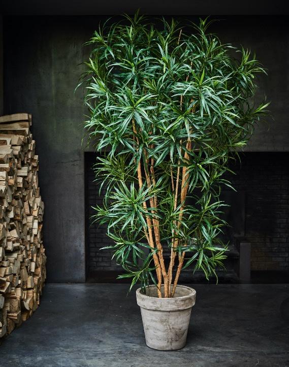 Dracaena groen 1.83 cm