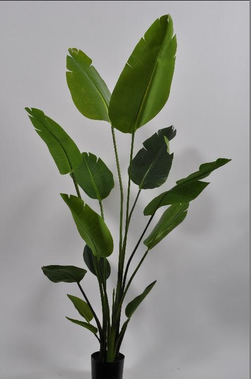 Strelizia groen 150cm
