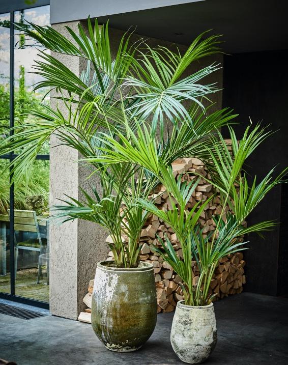 Kentia palm 2.20 hoog (links)