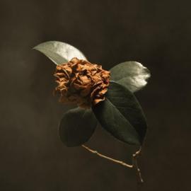 St. Paul and the broken bones -  Young sick Camellia | CD
