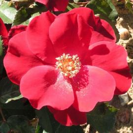 Geurolie voor Kaarsen & Zeep - Maiden Rose