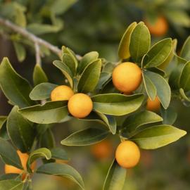 Geurolie voor Kaarsen & Zeep - Satsuma Orange