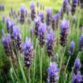 Geurolie Lavendel GOF330 voor Gietzeep
