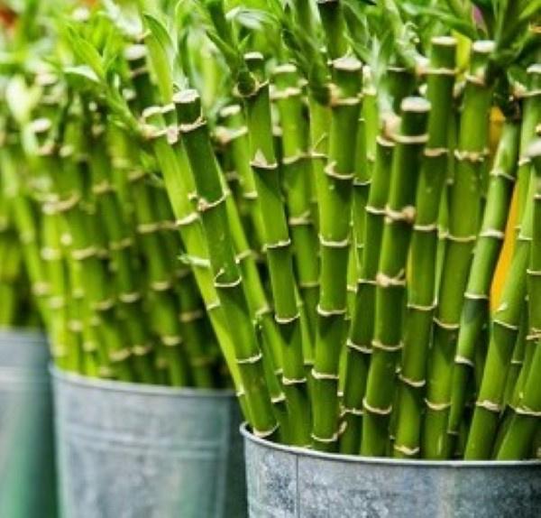 Geurolie Bamboe en Mint - BB704 voor gietzeep