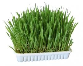 Knaagdier gras