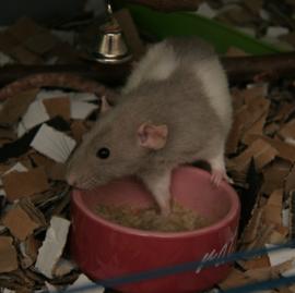 Rat Porridge