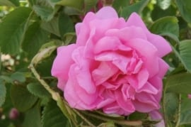 Florihana gezichtscrème biologisch 3 rozen 50 ml