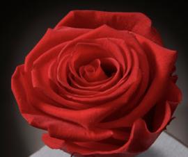 Rode Roos 6 stuks