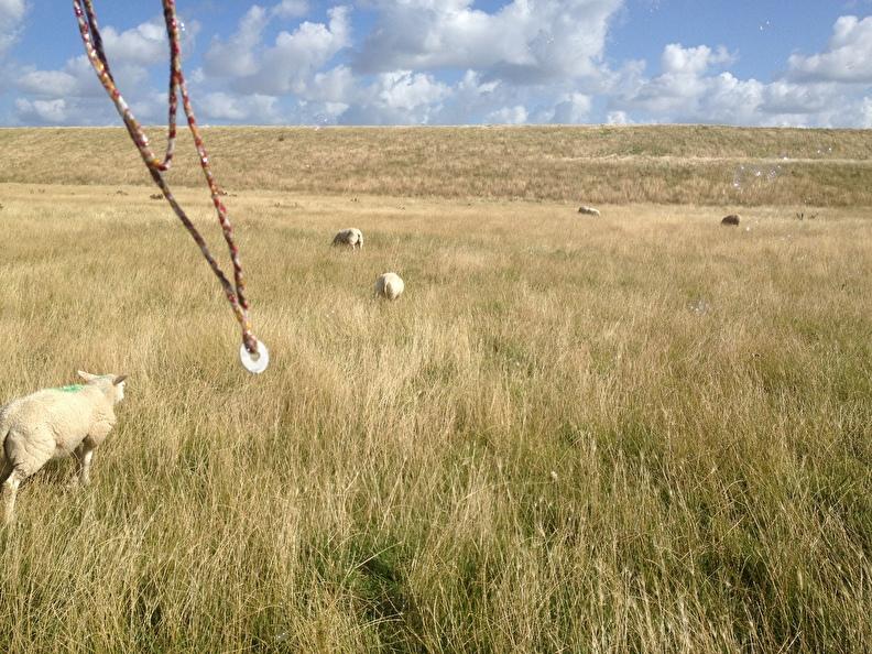 texel superbellen schapen