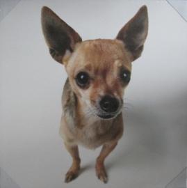 Canvasprint Chihuahua