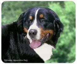 muismat Berner Sennenhond