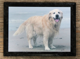 wandplaat Golden Retriever op aluminium