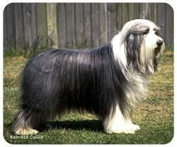 muismat Bearded Collie