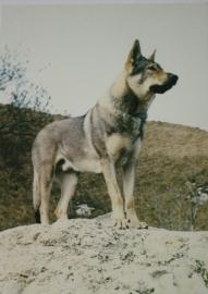 Wenskaart Tsjechoslowaakse Wolfhond  6