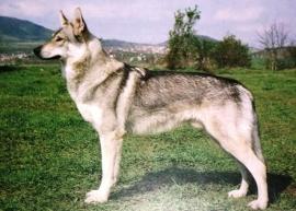 Wenskaart Tsjechoslowaakse Wolfhond 1