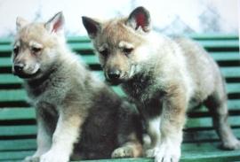 Wenskaart Tsjechoslowaakse Wolfhond  4