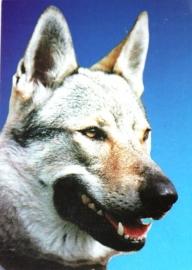 Wenskaart Tsjechoslowaakse Wolfhond  3