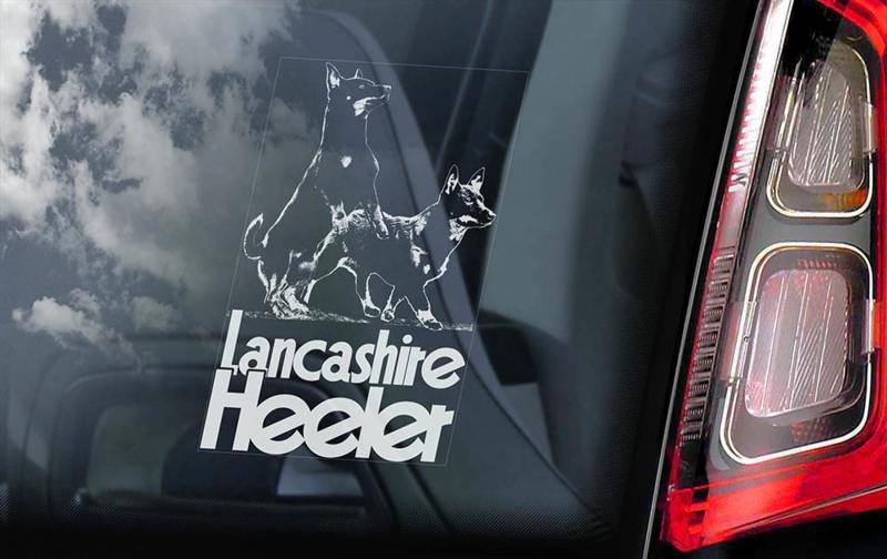 Lancashire Heeler V03