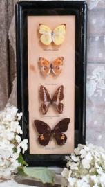 Oud vlinderkastje met 4 vlinders  VERKOCHT