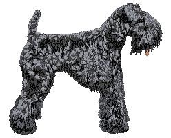 DV 266  Kerry Blue Terrier