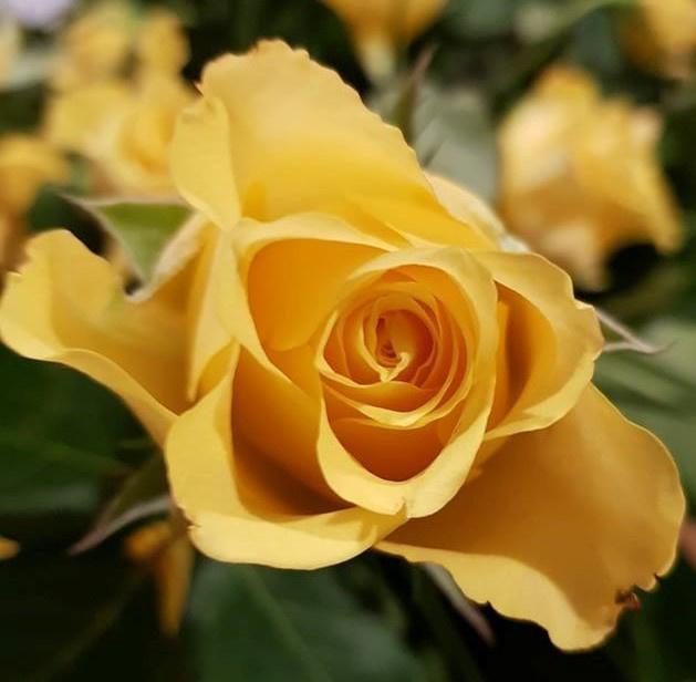Borduurpakket gele roos - LielDesign