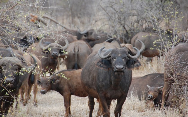 african-buffalo-3705.jpg