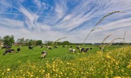 Holland Koeien in de Wei