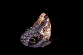 Plexiglas Vlinder II
