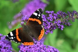 Vlinder I