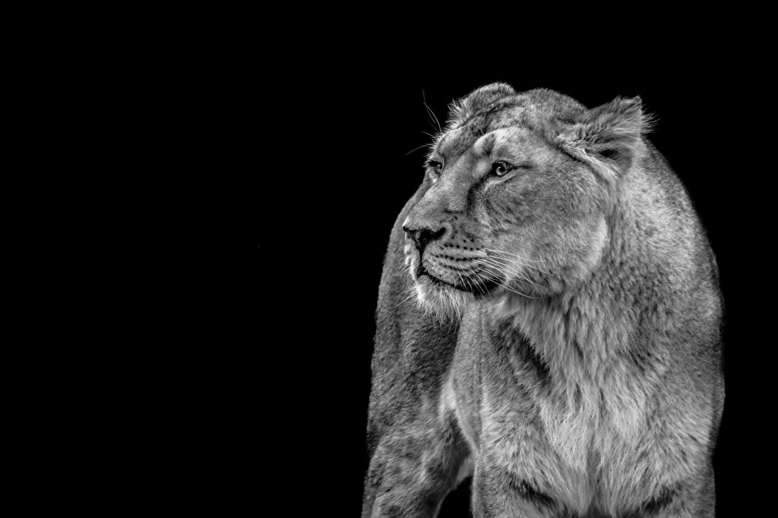 Leeuwin met zwarte achtergrond