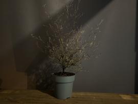 Corokia plant