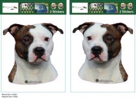 American Staffordshire Terrier gestroomd / Amerikaanse Stafford setje 2 stuks OP=OP