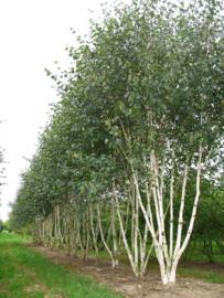 Betula utilis Doorenbos Meerstam 350-400 cm
