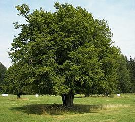 Carpinus betulus Haagbeuk
