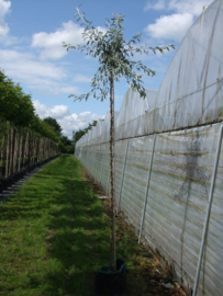Pyrus salicifolia 'Pendula' treur sierpeer