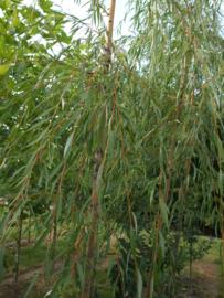 Salix ×sepulcralis 'Chrysocoma' Treurwilg