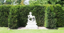 Taxus baccata 40-60