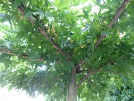 Dak liquidambar amberboom