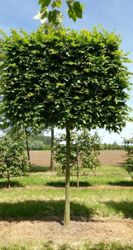 Lei Carpinus  (haagbeuk) maat 14/16 200 cm stam