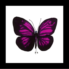 Magenta butterfly in box frame