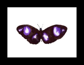 Zwart paarse vlinder in boxlijst