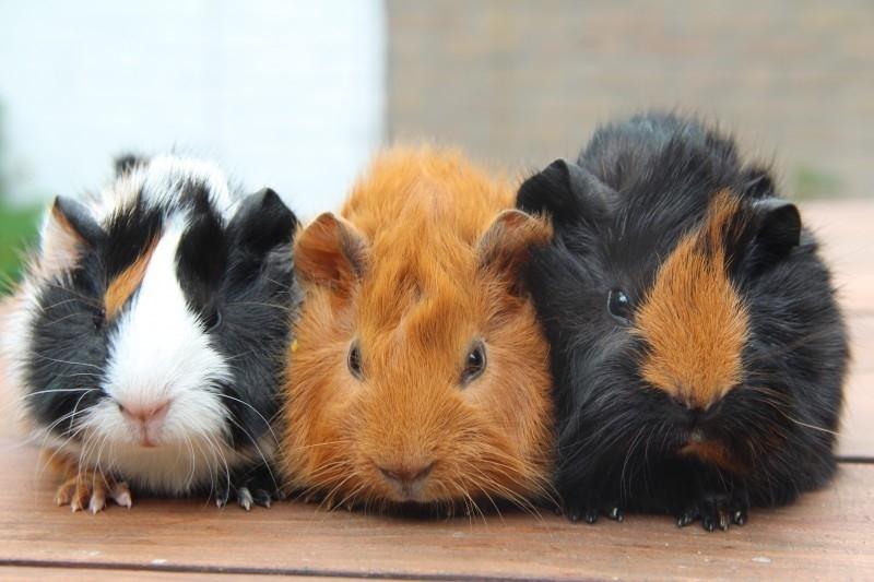 TROVET QUINEA PIG  2.5 kg.  volledig gezondheidsvoer voor jonge en volwassen cavia`s