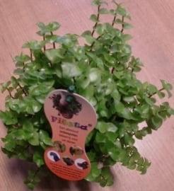 Callisia Repens Het Eetbare Plantje