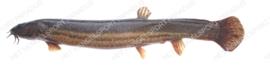 Modderkruiper (grote)
