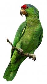 Aratinga papegaai