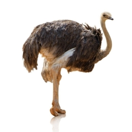 Hondensnacks Struisvogel